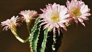 Цветущие домашние цветы. Цветущие кактусы - редкостная красота(Цветущие домашние цветы. Цветущие кактусы - редкостная красота.Многие люди любят домашние цветы и комнатны..., 2014-08-22T14:29:49.000Z)