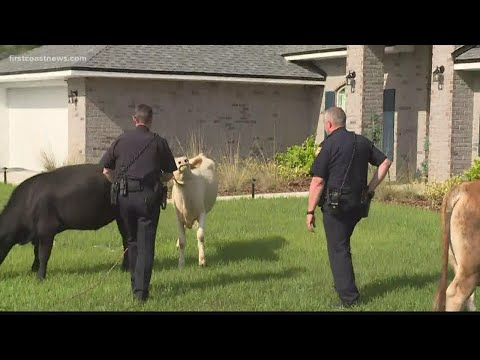 VIDEO: Cows Trot Through Florida Neighborhood, Unfazed By Sprinklers