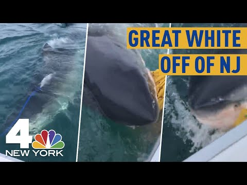 Great White Shark Swims Up To Boat Off Of NJ Coast, Chomps Bait Bag In Wild Video | NBC New York
