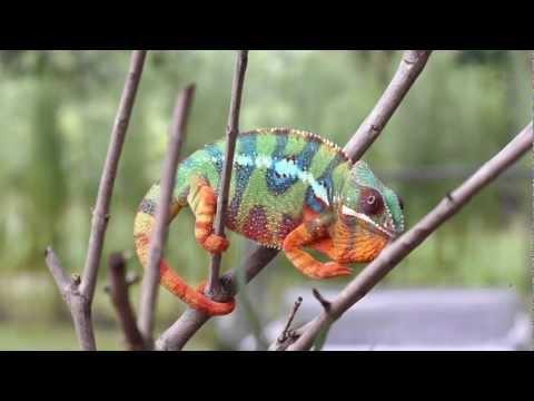 Real Chameleon Color change