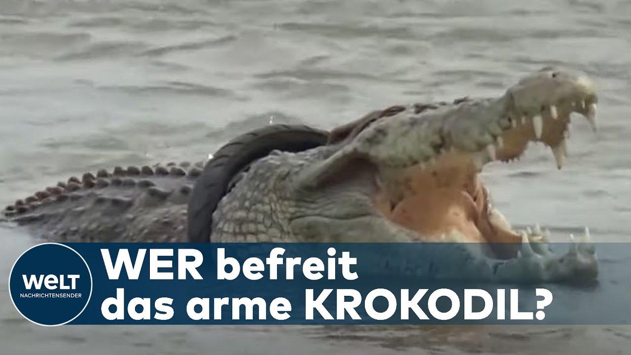 """REIFEN-REPTIL: Trotz Belohnung - Keiner will dieses Krokodil von seinem  """"Halsschmuck"""" befreien"""