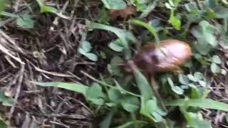 アブラゼミの幼虫.