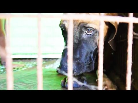 Sox, Rescued from the Korean Dog Meat Trade
