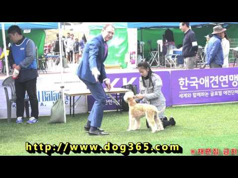 2016.04.11 KKF Dog Show - Wheaten Terrier