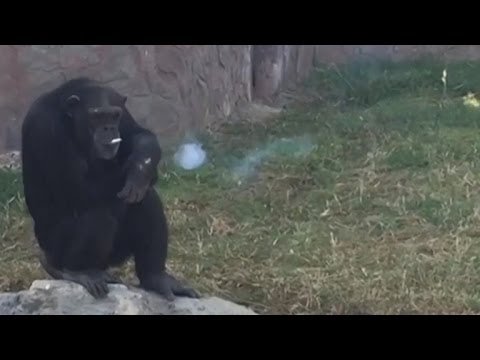 Outrage Over Chimpanzee Smoking a Pack of Cigarettes a Day at Zoo
