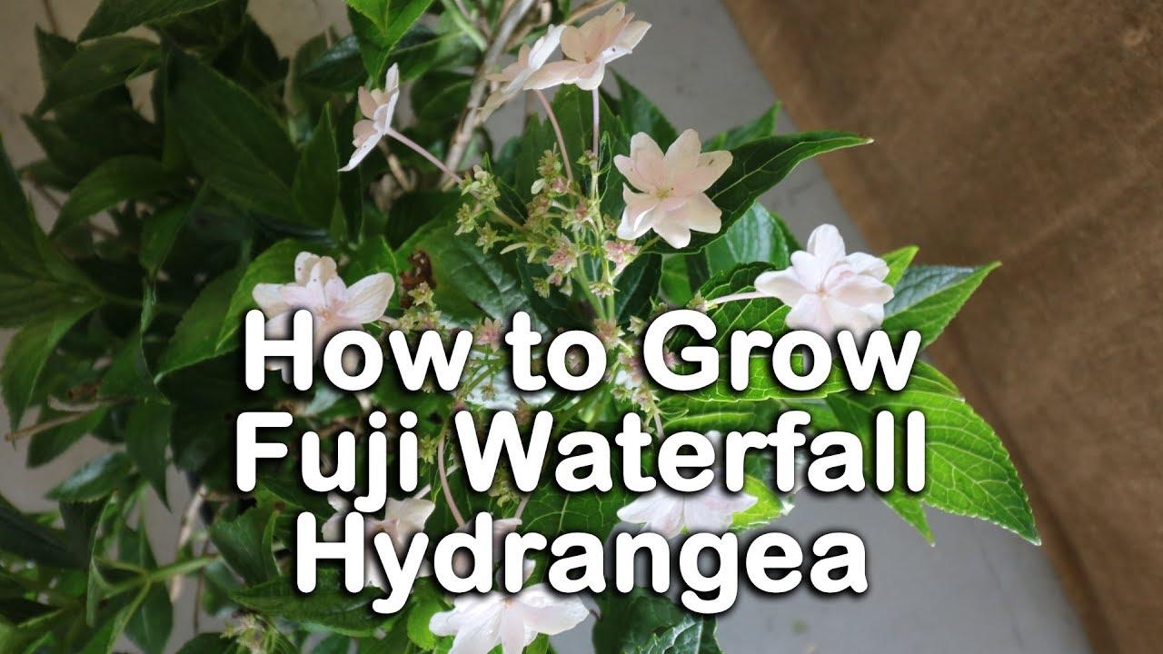 How To Grow Fuji Waterfall Hydrangeas White Flowering Bigleaf