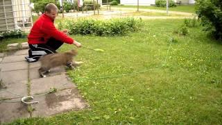 Котопёс (Курильский бобтеил)