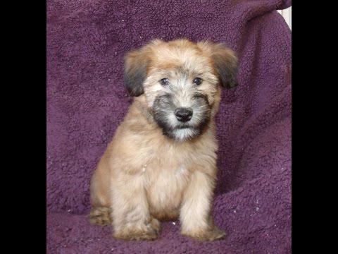 Bruno, a Wheaten Terrier Puppy from Celebritypups.com