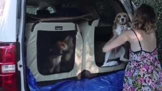 Rescue # 75 - Beagle Freedom Project