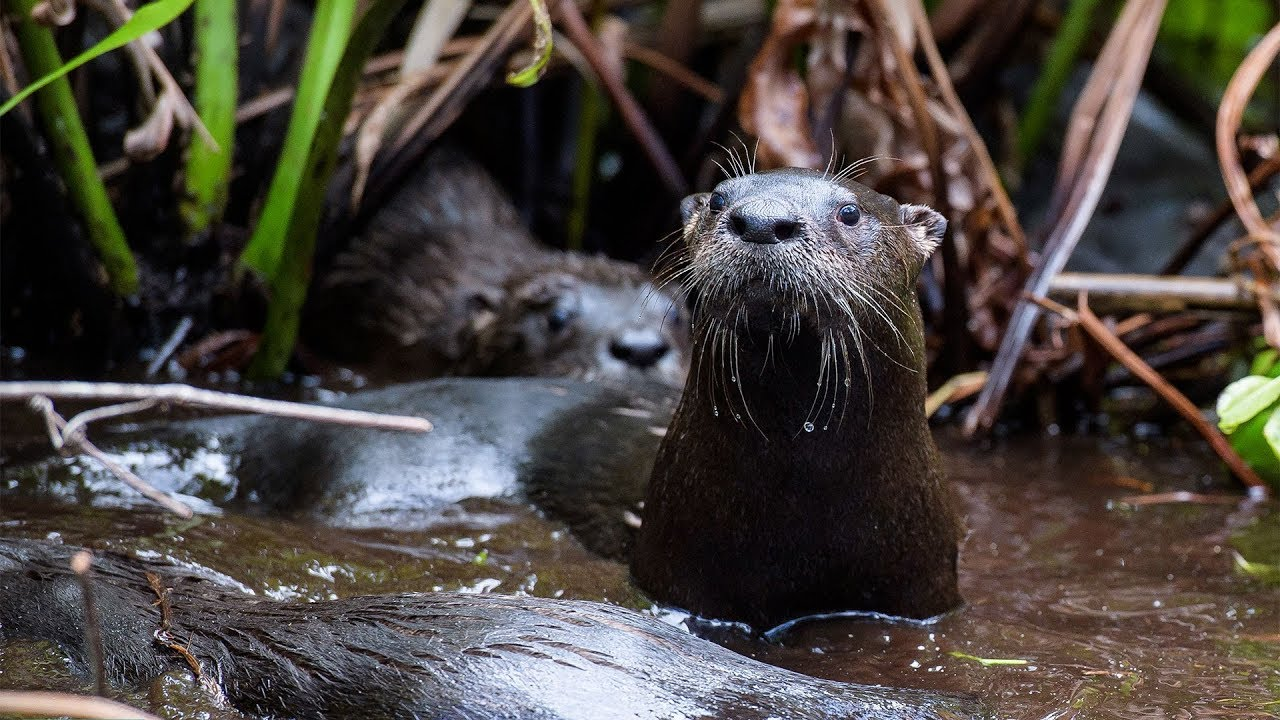 Abe and Five Orphaned Otters Released