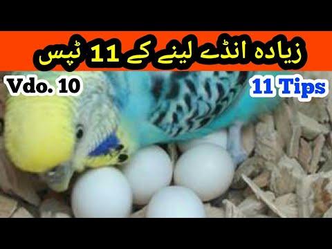 Best Breeding Tips of Australian Parrots, Eggs ziada lyny k Tips in Urdu/Hindi |Arham Naveed| Vdo.10 thumbnail