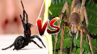 Austrália aranha das veias da se como livrar
