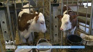 ANIMAUX : La Montbéliarde, une belle histoire d'amour