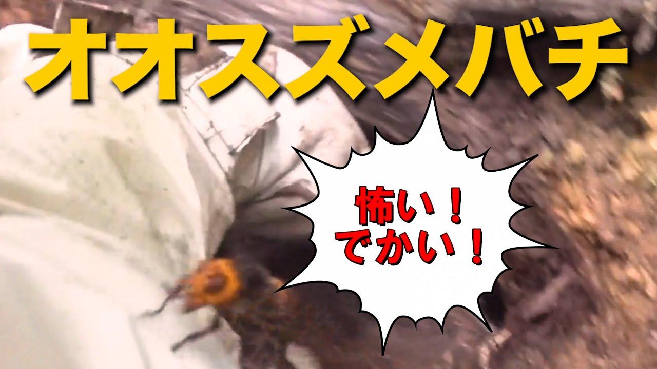 巨大で恐ろしい! オオスズメバチ登場!京都市左京区でスズメバチ駆除!Vespa mandarinia