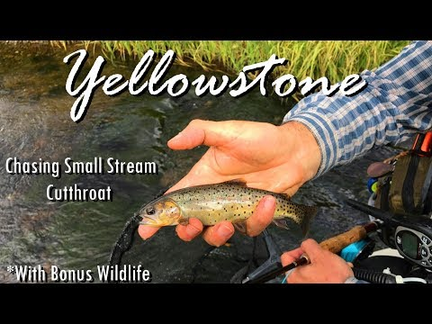 WBD - Fly Fishing Yellowstone Chasing Small Stream Cutthroat