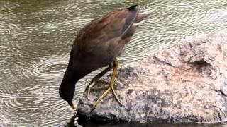 Dusky Moorhen (Gallinula tenebrosa) / Papua-Teichhuhn [2]