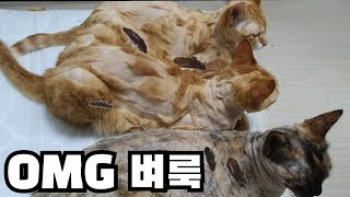 맙소사 11마리의 고양이가 벼룩에 옮았다