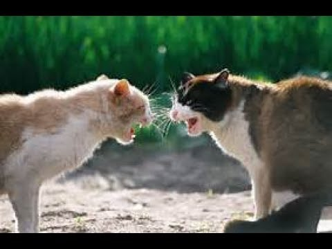 best fighting cats  TOP 5 Cats Fighting and Talking 2017