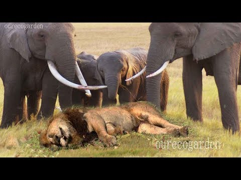 Lion vs bull Elephant Crocodile vs Elephant Lion attacks Animal fight back Nature Wildlife