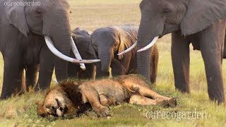 Repeat youtube video Lion vs bull Elephant Crocodile vs Elephant Lion vs Hyena Male lion attacks Animal Victim Fight back