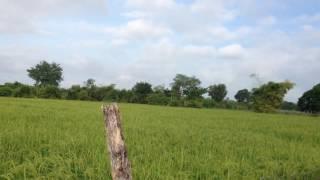 Landscape of rice fields, mountain, feeding cows ទេសភាពវាលស្រែ ភ្នំ ឃ្វាលគោ