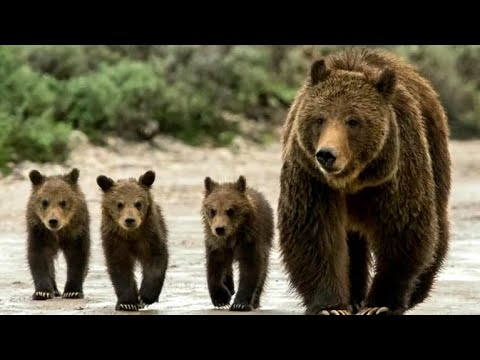 Judge blocks grizzly bear hunts in Idaho, Wyoming