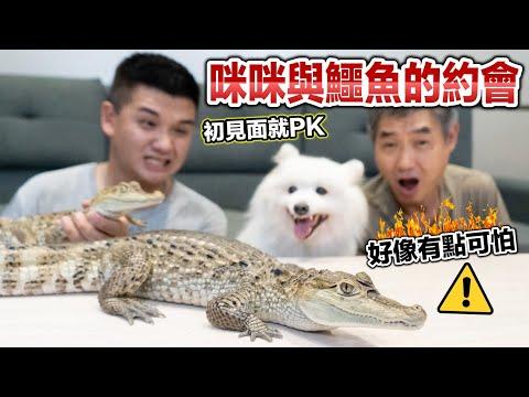 咪咪與鱷魚的約會,初次見面就PK『好像有點可怕』