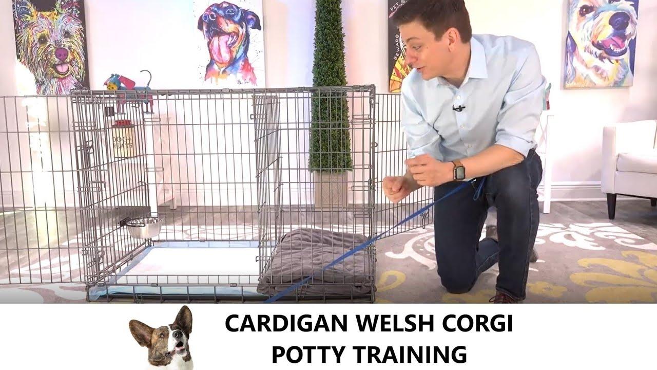 Cardigan Welsh Corgi Potty Training from World-Famous Dog Trainer Zak George - Cardigan Welsh Puppy