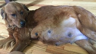 This Pregnant Dog Was Huge – But As She Gave Birth They Knew X Rays Hadn't Told The Full Story