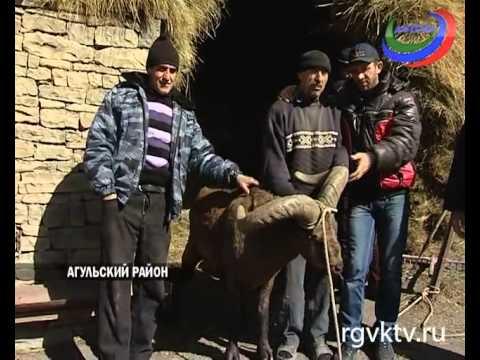 В Дагестане фермер спас и приручил дикого тура