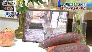 札幌の円山動物園でオオカンガルーが死んだ事故で、園長は「防げた事故...