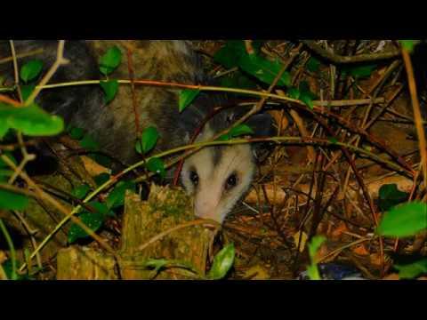 A Redneck Feeding A Possum | Mississippi Wildlife