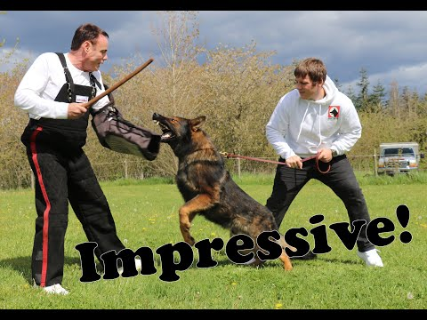 ProCelebrity Protection Dog Demonstration by Kraftwerk K9