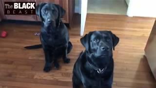 🐶 Who has the most patience | Girl VS Boy | Black Labrador