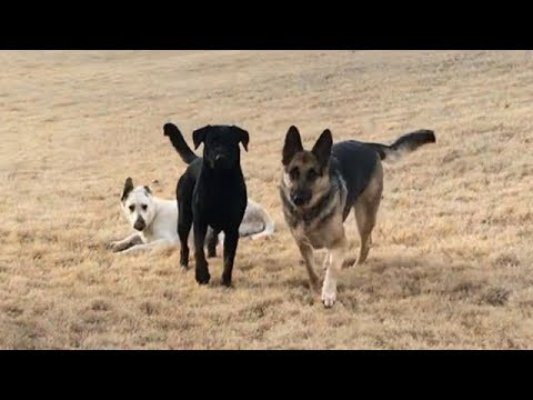 Odin and the Lab Pack