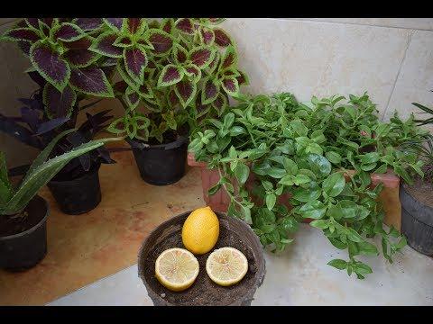 طريقة زراعة بذور الليمون من ثمرة ليمون عادية موجودة بالثلاجة thumbnail