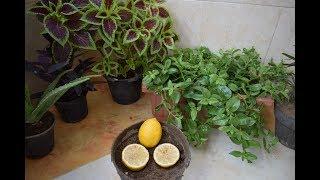 طريقة زراعة بذور الليمون من ثمرة ليمون عادية موجودة بالثلاجة