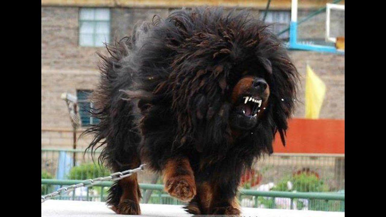 افضل 10 كلاب حراسة في العالم Youtube