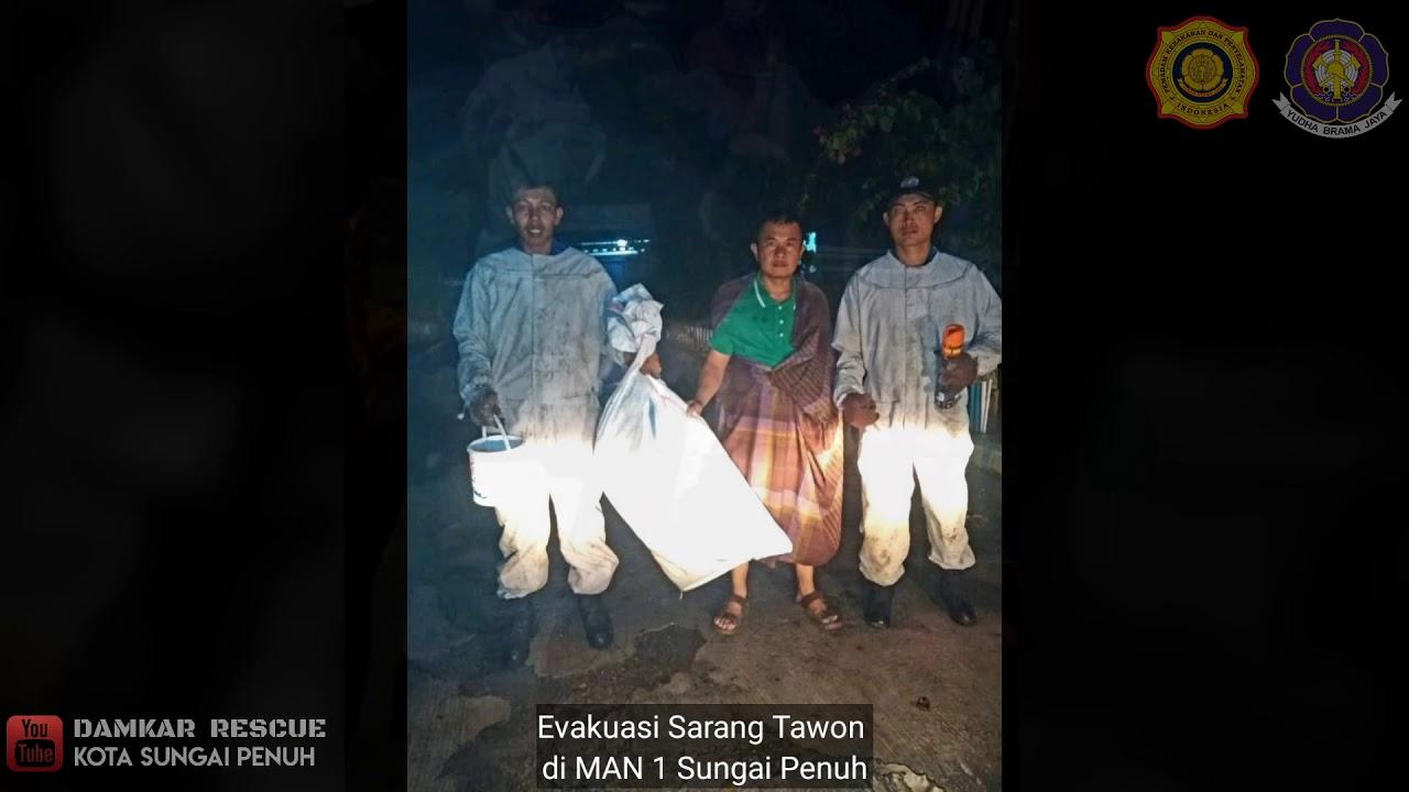 Evakuasi Sarang Tawon di MAN 1 dan Kantor Kepala Desa Sungai Jernih Kota Sungai Penuh