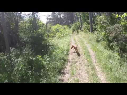 Mountainbiking with my Pharaoh Hound