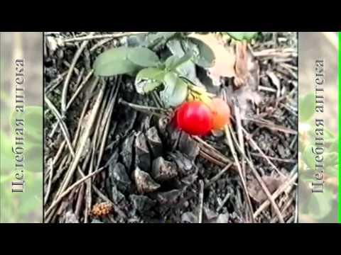 Брусника обыкновенная. Целебные свойства брусники
