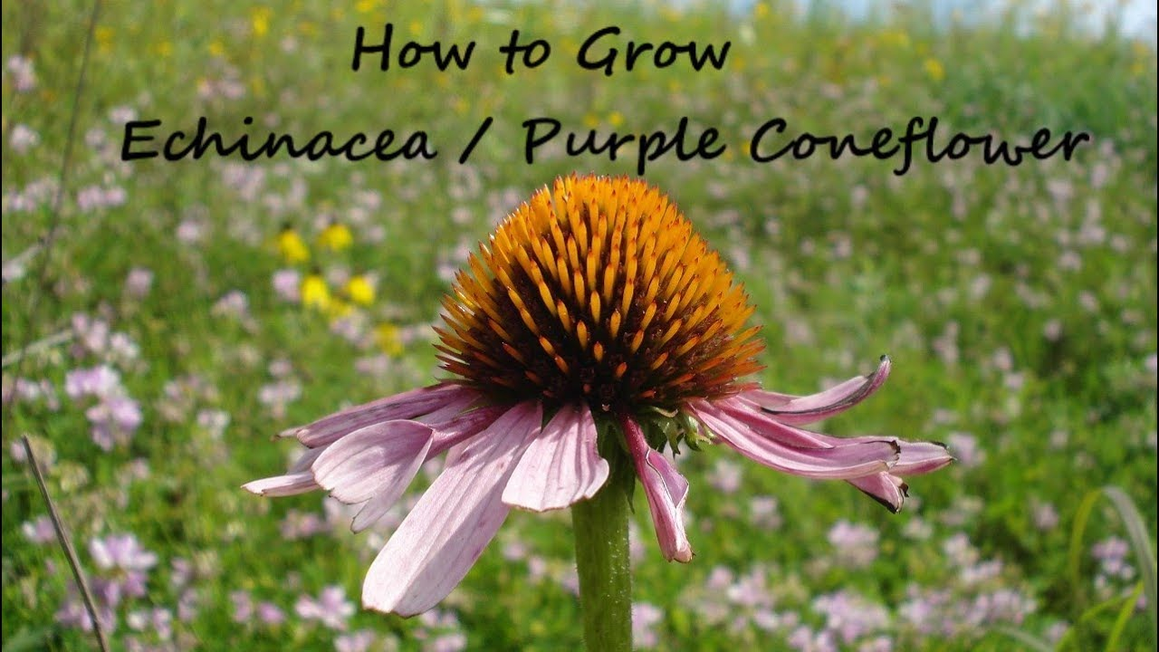 How To Grow Echinacea From Seed Purple Coneflower Echinacea