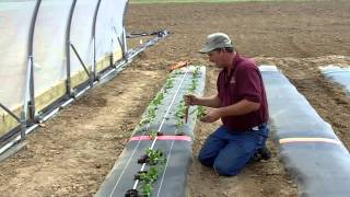 AR Strawberry Production Video 3: Planting Strawberry Plugs in High Tunnels