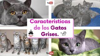 Características de los gatos grises y cuales son sus razas.