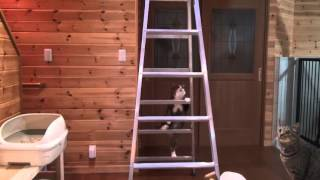 脚立とねこ。-The stepladder and Maru.-