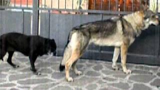 BYRON VISONE SALTA LA STACCIONATA - cane lupo cecoslovacco