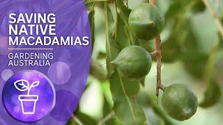 Saving Australia's native macadamia nuts