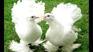 Петлюра голуби