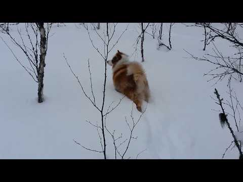 The winter of Finnish Lapphund