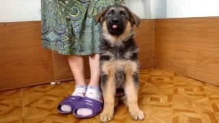 Начальная дрессировка щенка немецкой овчарки.Сантлаурис Искра
